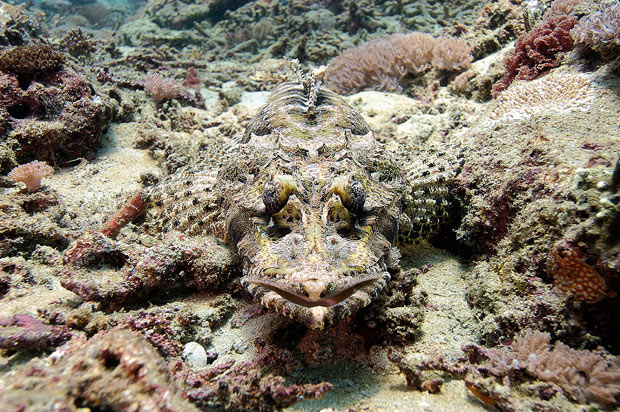 Crocodile-fish_1594835i